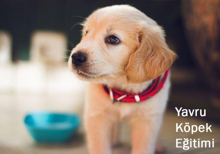 avru köpek eğitimi nasıl verilir