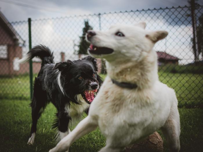 Köpeklerde davranış bozukluğu saldırganlık